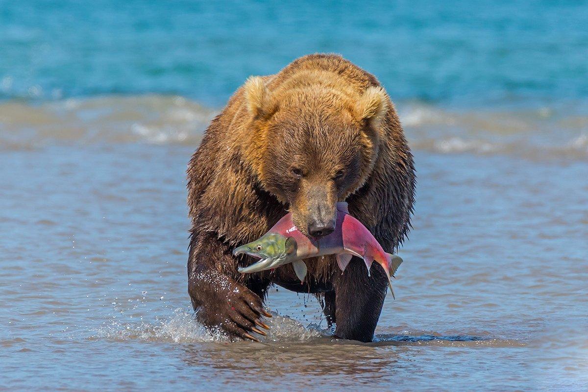 камчатка, медведь, лосось, природа, путешествие, фототур, лето, озеро,, Денис Будьков