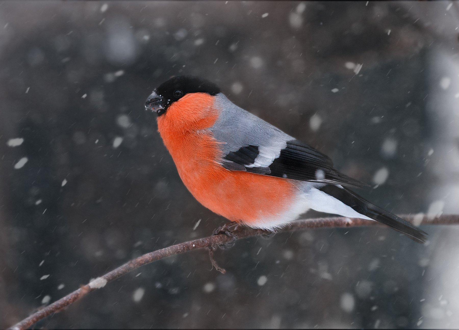 снегирь, зима, снег, природа, птицы, Людмила Гудина