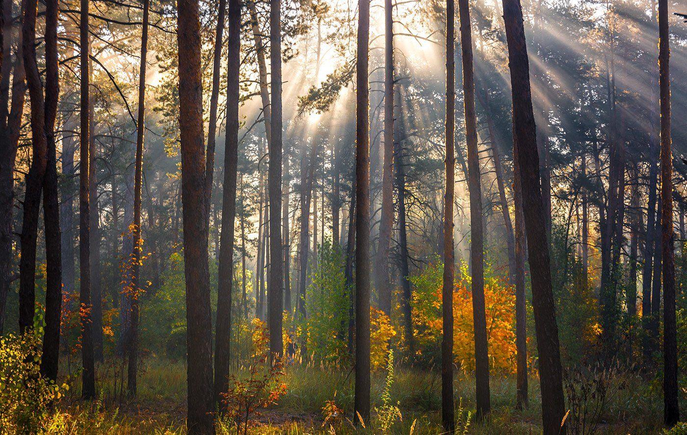 landscape, пейзаж, утро, лес, сосны, деревья, солнечный свет,  солнце, природа, солнечные лучи,  прогулка, осень, осенние краски, Шерман Михаил