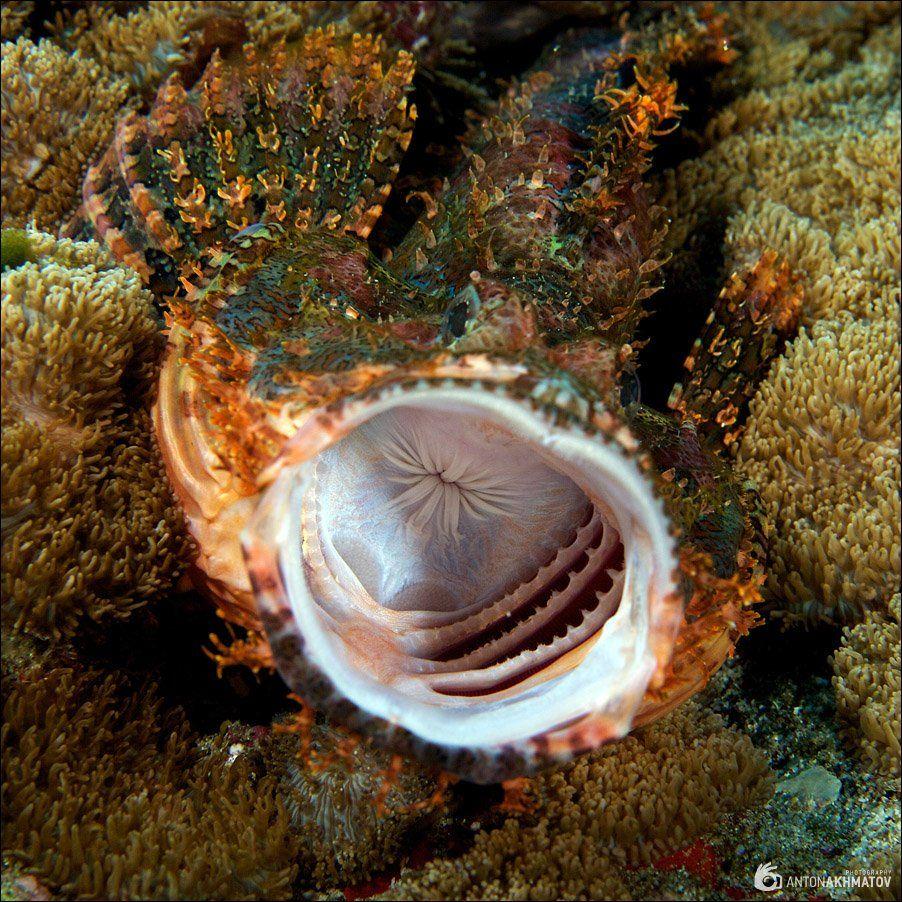 underwater, stonefish, sipadan, Anton Akhmatov