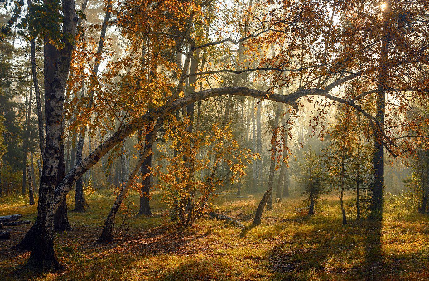 landscape, пейзаж, утро, лес, сосны, березы, деревья, солнечный свет,  солнце, природа, солнечные лучи,  прогулка, осень, осенние краски, осенние листья, осенние краски, Шерман Михаил