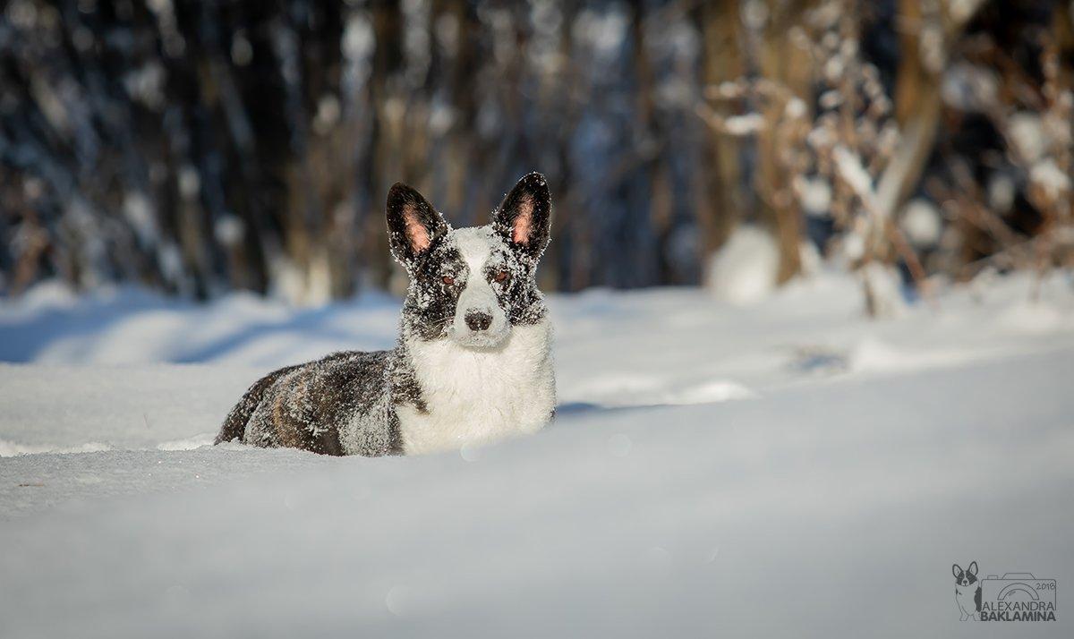 собака, зима, корги, Александра Бакламина