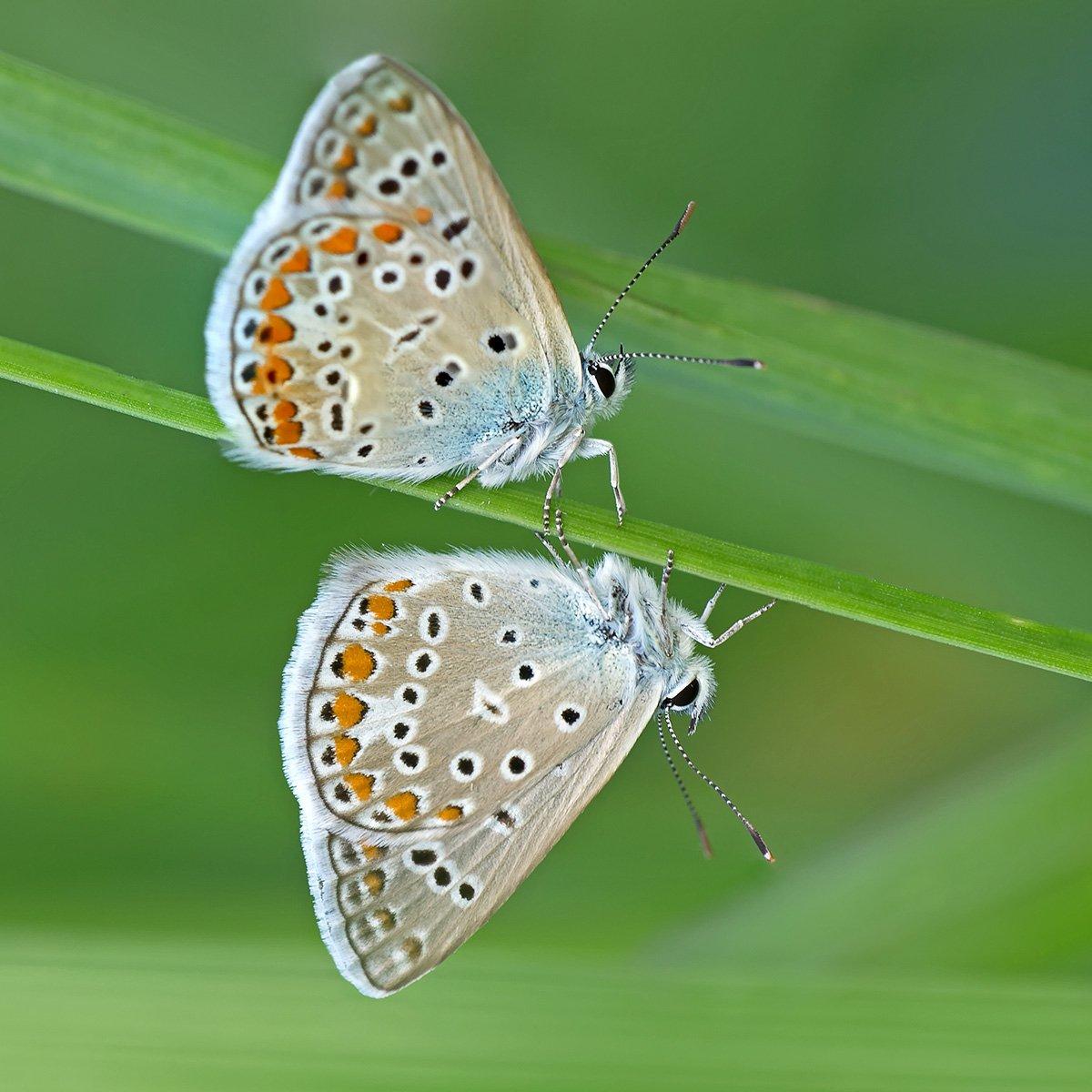 макро, насекомые, бабочки, голубянка, Александр Земляной