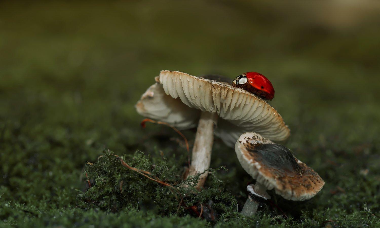 макро, природа, лес, насекомые, мох, грибы, божья коровка, macro, nature, forest, insects, moss, mushrooms, ladybug,, Тараненко Анжелика