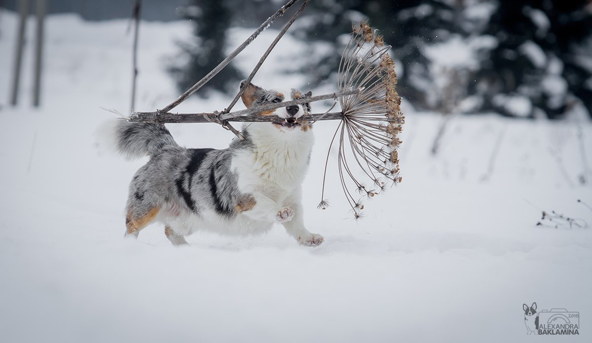 собака, вельш корги, корги, зима, Александра Бакламина