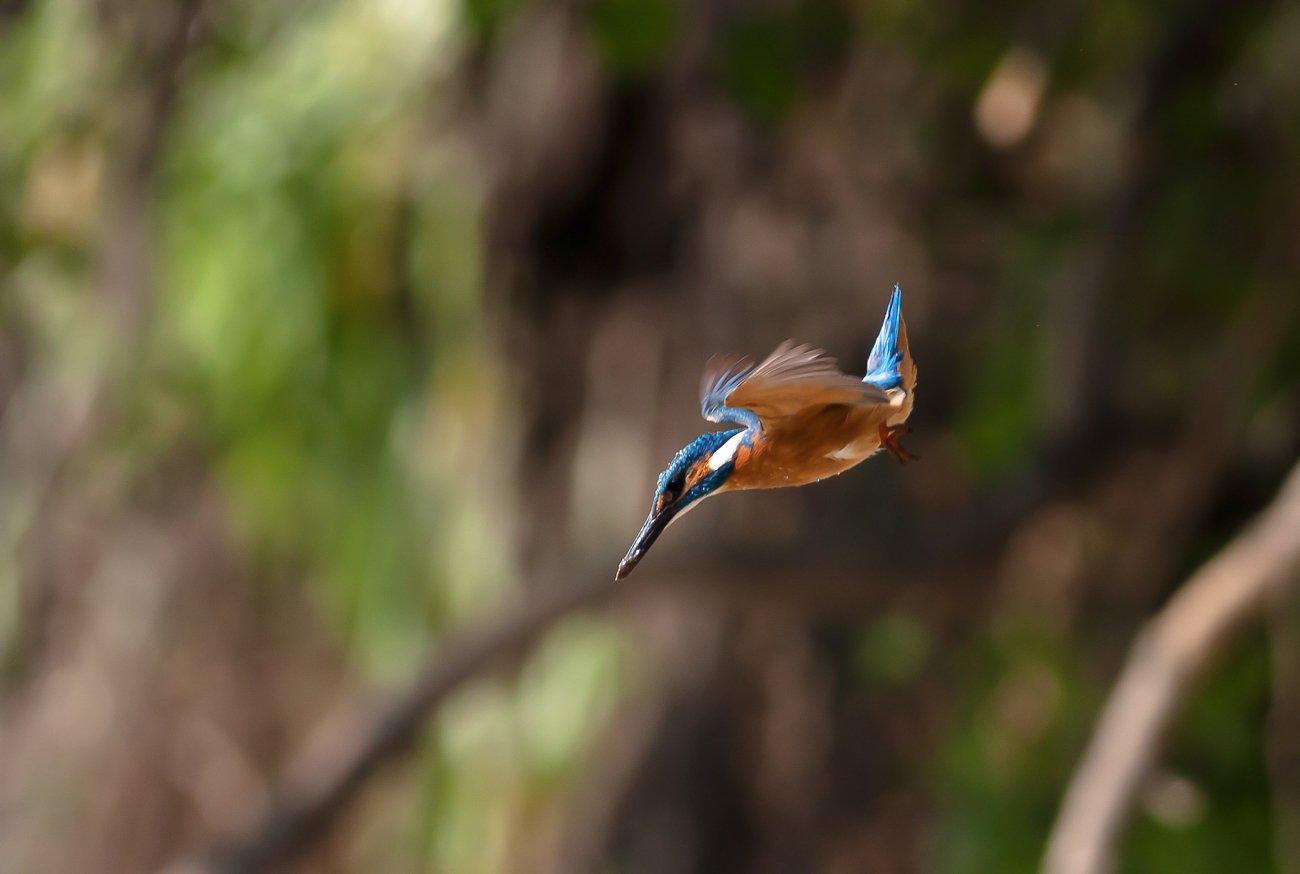 kingfisher, bird, wildlife, Fichna Adam