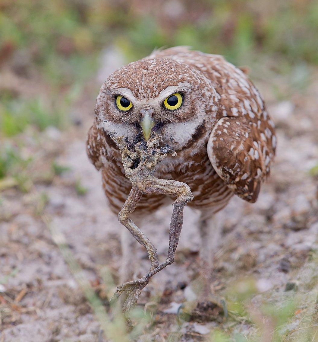 кроличий сыч, florida,burrowing owl, owl, флорида,сыч, Elizabeth E