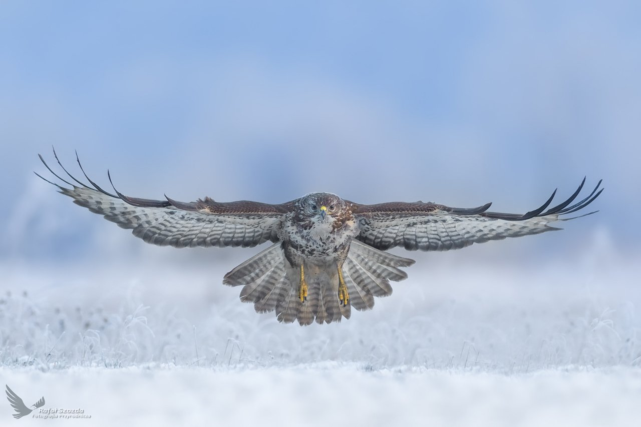 birds, nature, animals, wildlife, colors, meadow, frost, winter, hoarfrost, lens, nikon, nikkor, flight, raptors, lubuskie, poland, Rafał