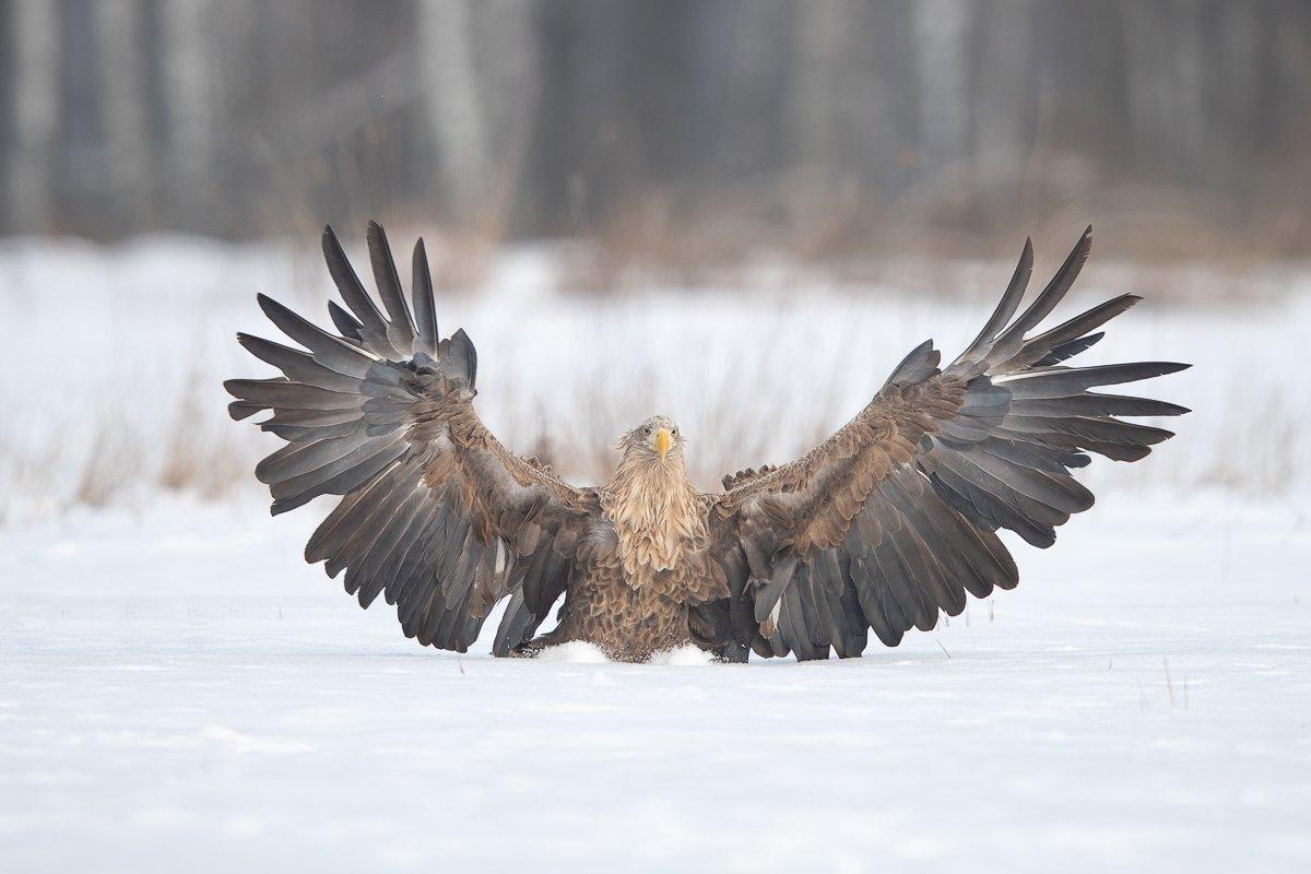 eagle,polamd,winter,wildlife, Marek Biegalski