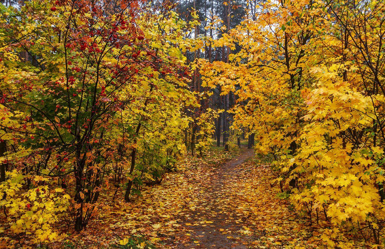 landscape, пейзаж,  лес,  деревья,  природа, осень,  туман,  сырость, опавшие листья, осенние краски, прогулка, рябина, ягоды,, Шерман Михаил