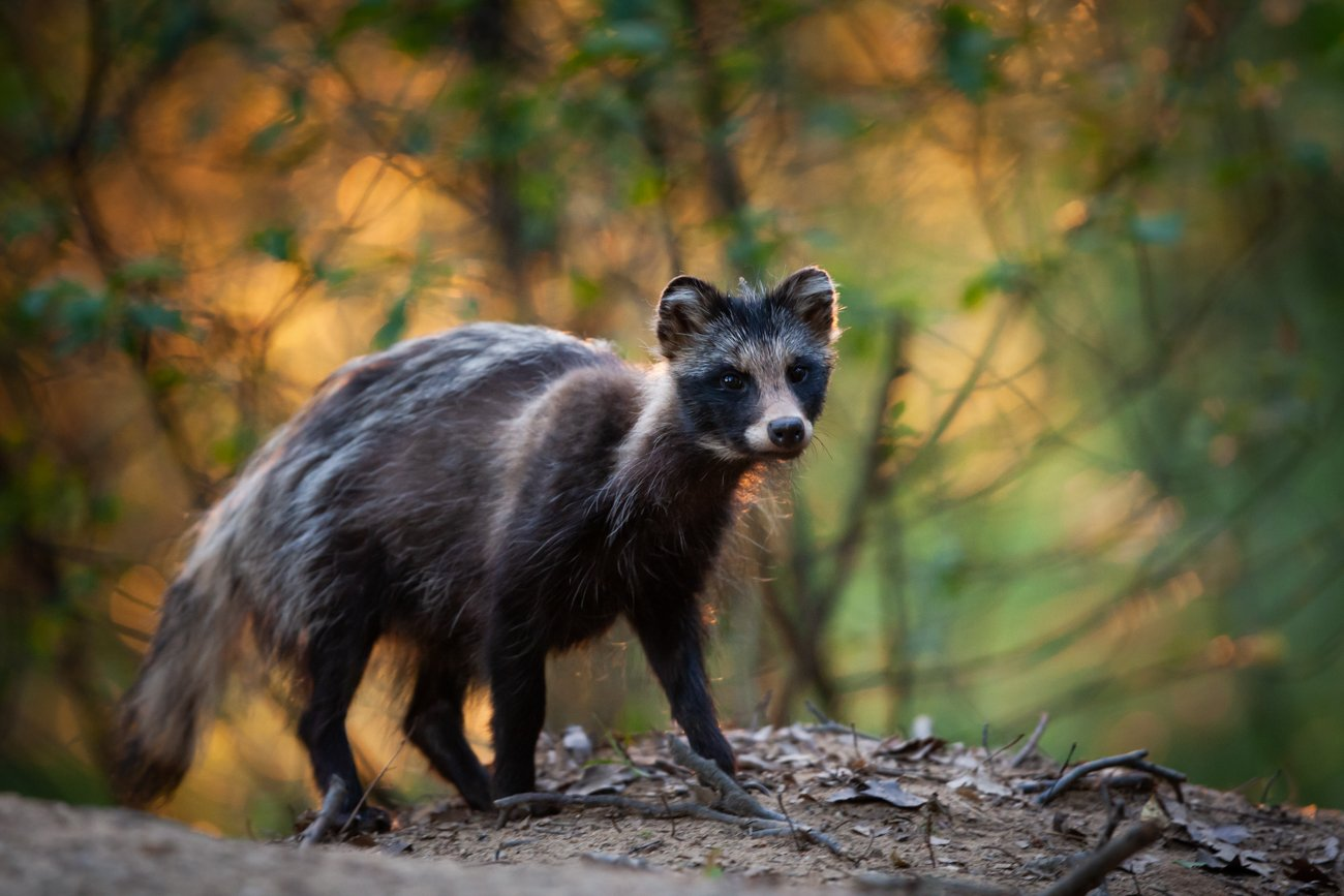 jenot, raccoon dog, wildlife, Fichna Adam