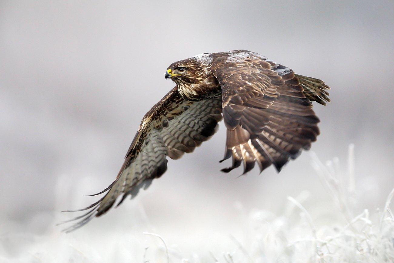 buzzard, hawk, wildlife, birds,, Fichna Adam
