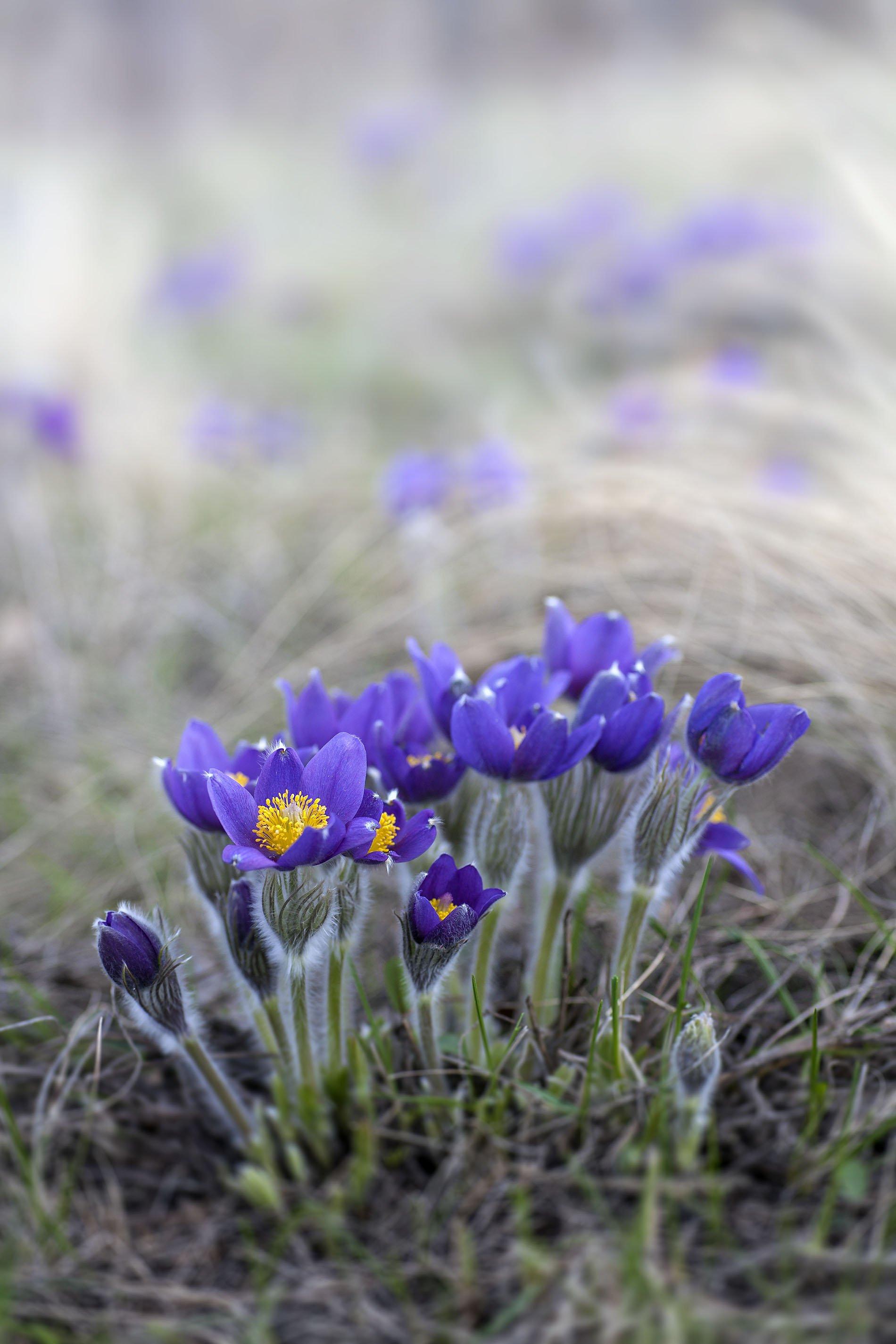 весна цветы зелень первоцвет, Качурин Алексей