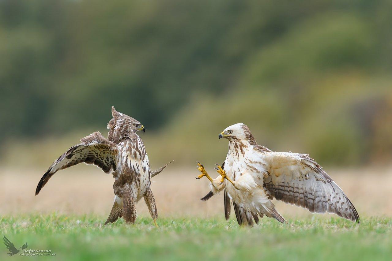 birds, nature, animals, wildlife, colors, meadow, fight, flight, nikon, nikkor, lens, lubuskie, poland, raptors, Rafał