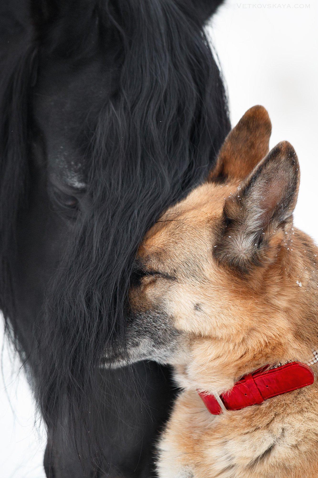 собака, лошадь, фриз, любовь, нежность, эмоции, старость, овчарка, Анастасия Ветковская