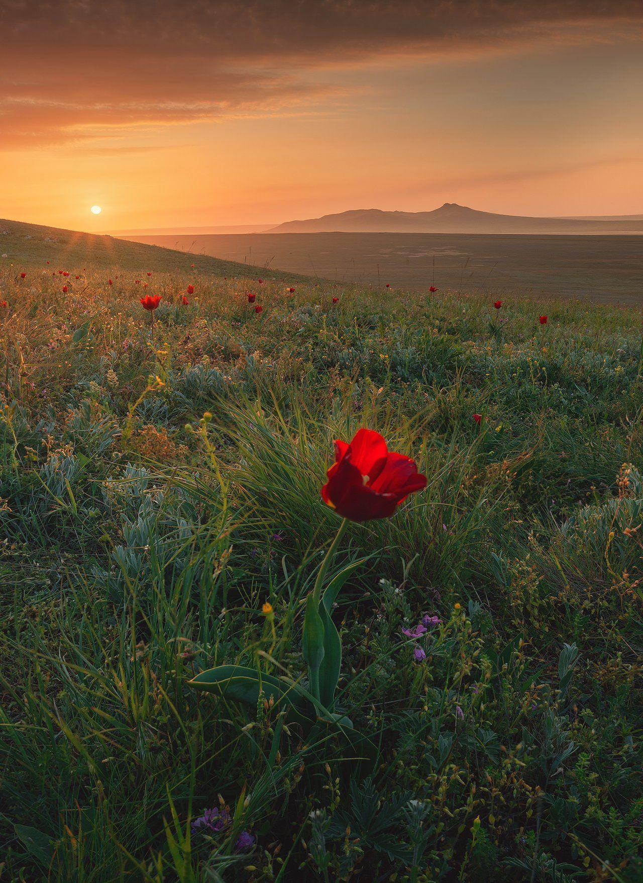 крым, мыс опук, кояшское озеро, керчь, керченский полуостров, тюльпаны шренка, Александр Трашин