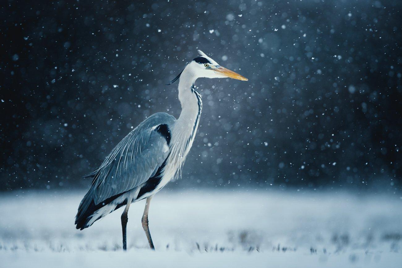 heron, czapla, wildlife, birds, winter, snow, Fichna Adam