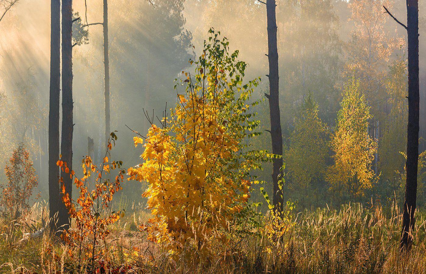 landscape, пейзаж, утро, лес, деревья, солнечный свет,  солнце, природа, солнечные лучи,  прогулка, осень, осенние краски, Шерман Михаил
