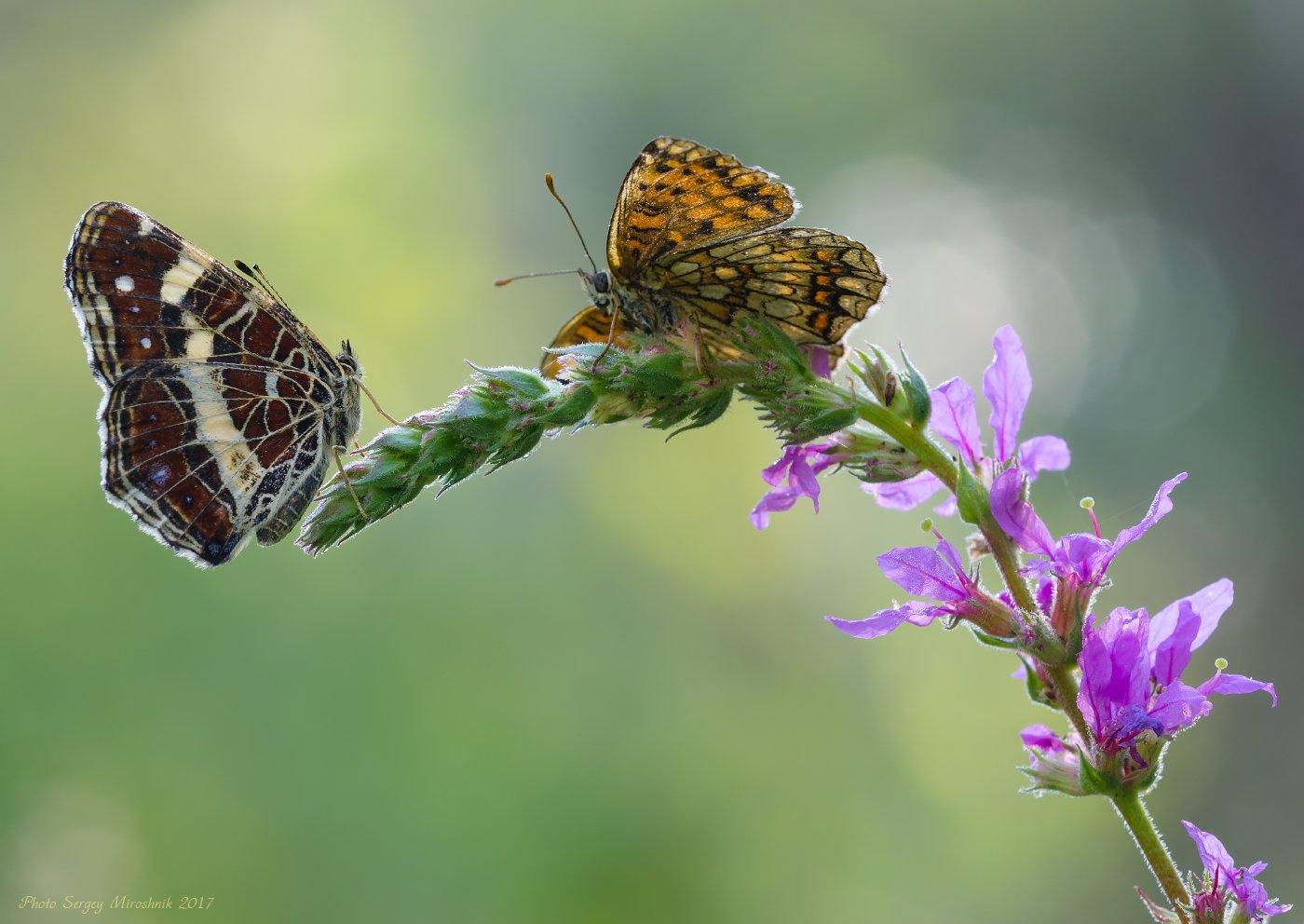 бабочка, природа, макро, лето, красиво, украина, крылья, цветок, Сергій Мірошник