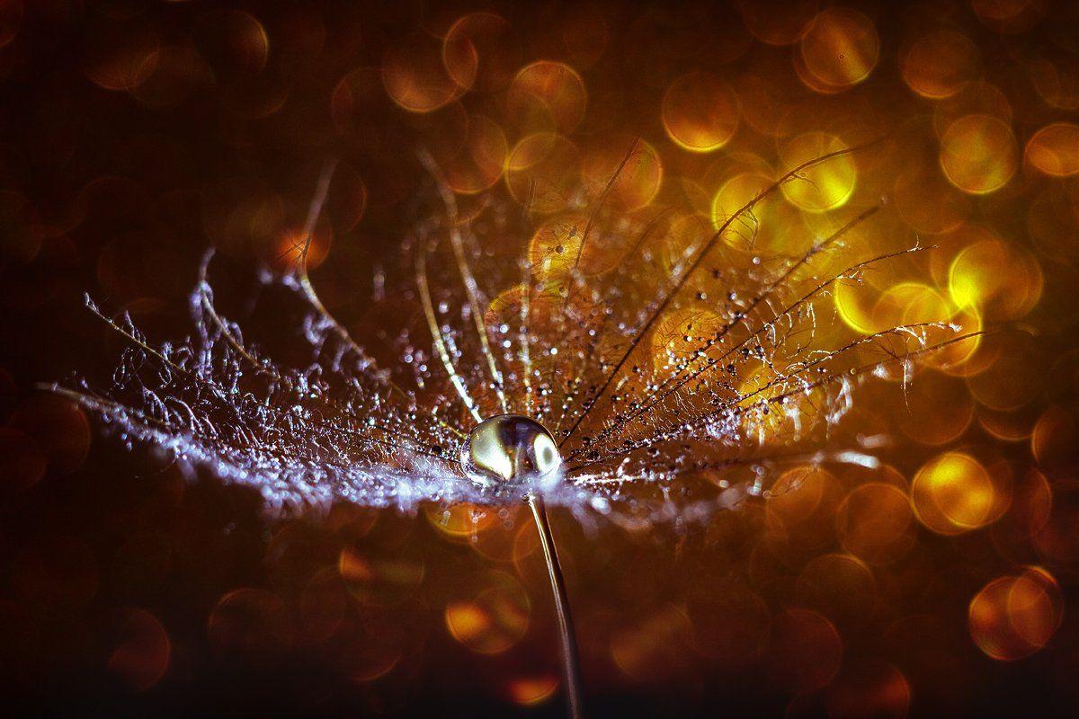 moment, момент, beautiful, красивый,  macro, макро,  manual lens, мануальная оптика, юпитер-37а, bokeh, боке, magical, волшебное, gold, золотое, sunny, солнечное, parachute, парашютик, salsify, козлобородник,  droplet, капля, warm, теплый, light, свет,, Наталья Терентьева / Nata_Smilyk ッ