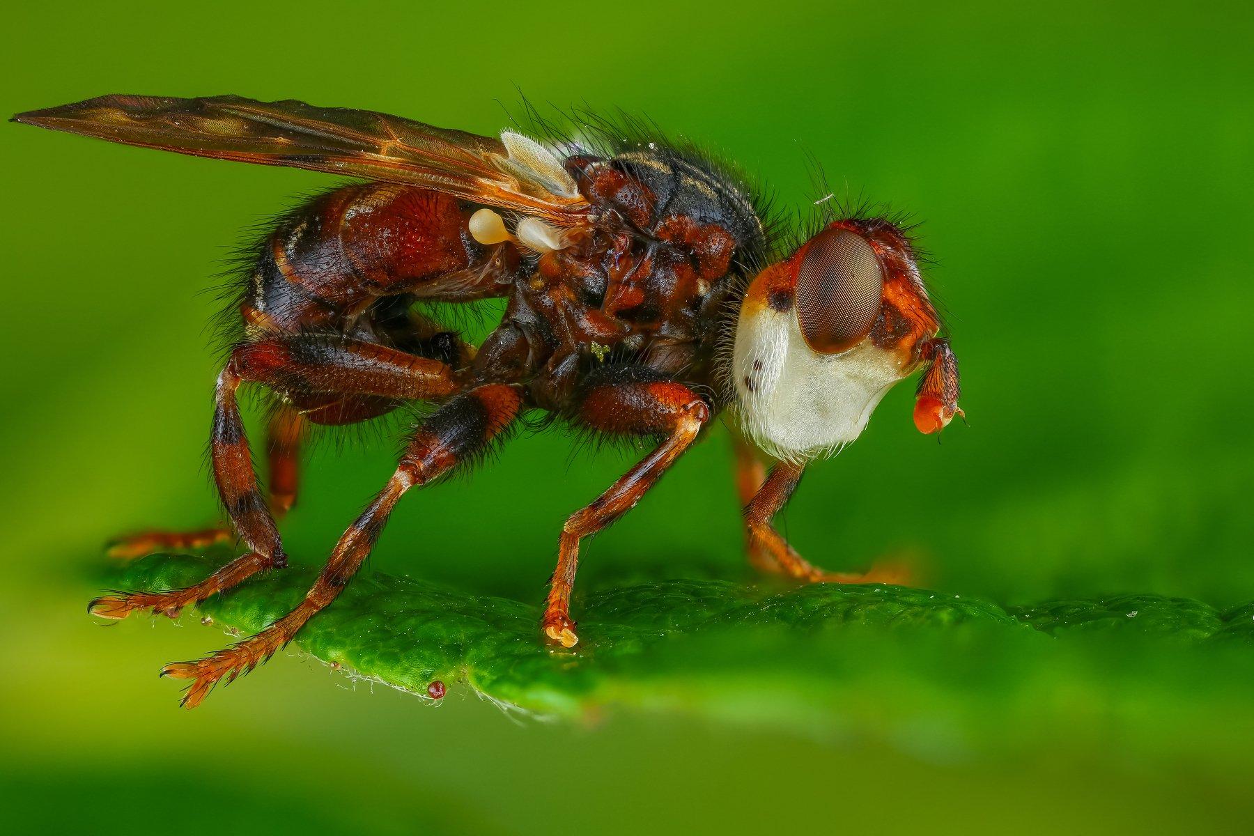 макро муха насекомое животное зеленый , Шаповалов Андрей