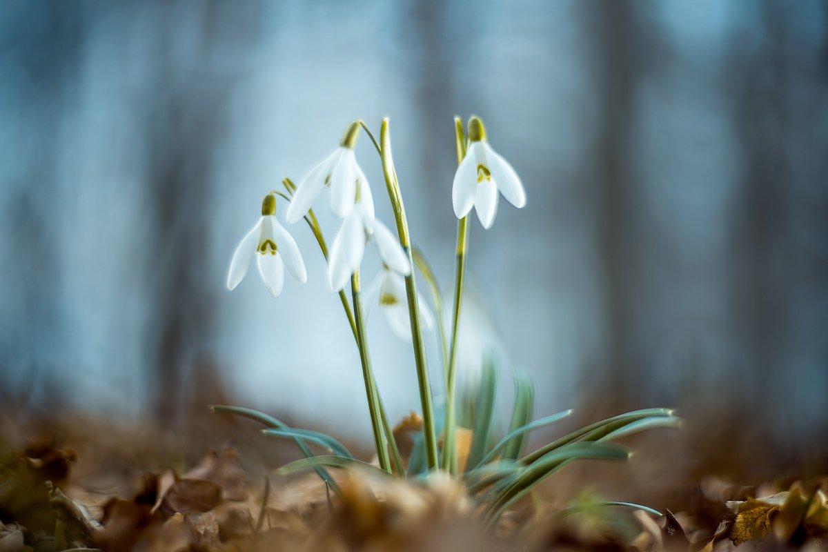 Common snowdrop, flowers, Galanthus nivalis, Wojciech Grzanka
