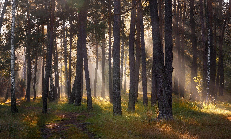landscape, пейзаж, утро, лес, сосны, деревья, солнечный свет,  солнце, природа, солнечные лучи,  прогулка,, Шерман Михаил