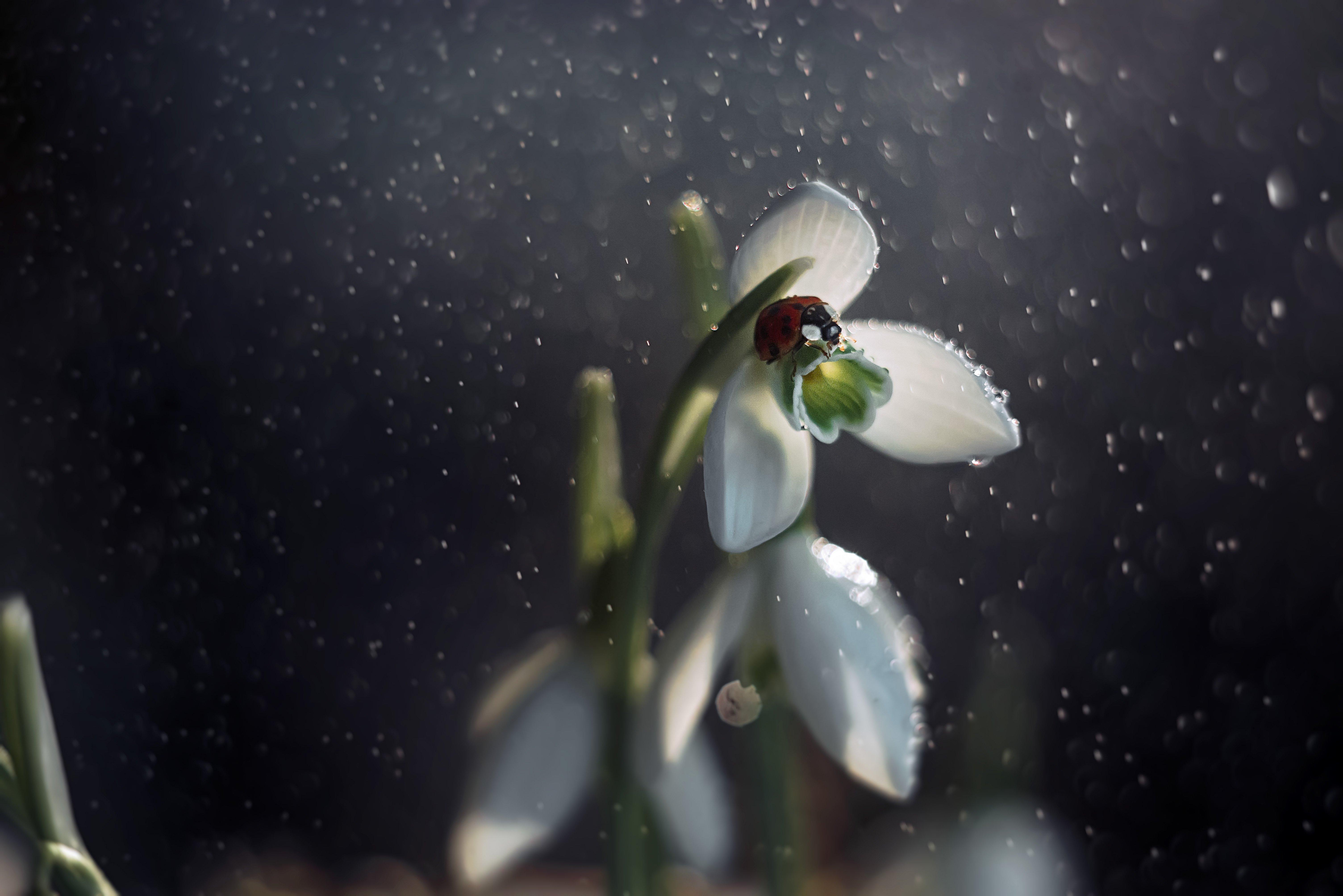 макро, божья коровка, подснежник, весна, Тарасова Ольга