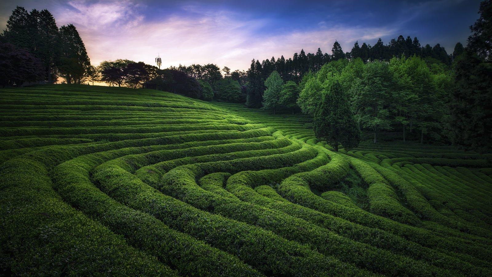 green tea farmland light sunrise spring line Korea, Tiger Seo