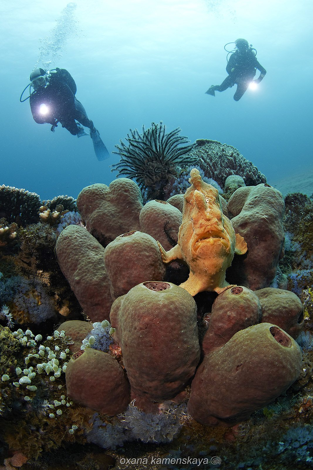 underwater frogfish coral sponge diver blue yellow, Оксана Каменская