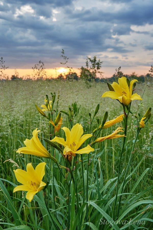 рассвет, цветы, Лена Стогова