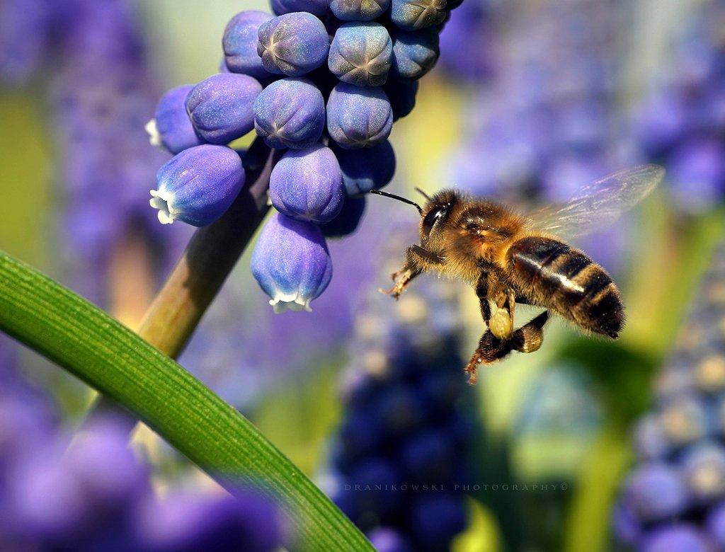 in flight bee пчела macro m42 flower dranikowski pszczola raynox flowers, Radoslaw Dranikowski