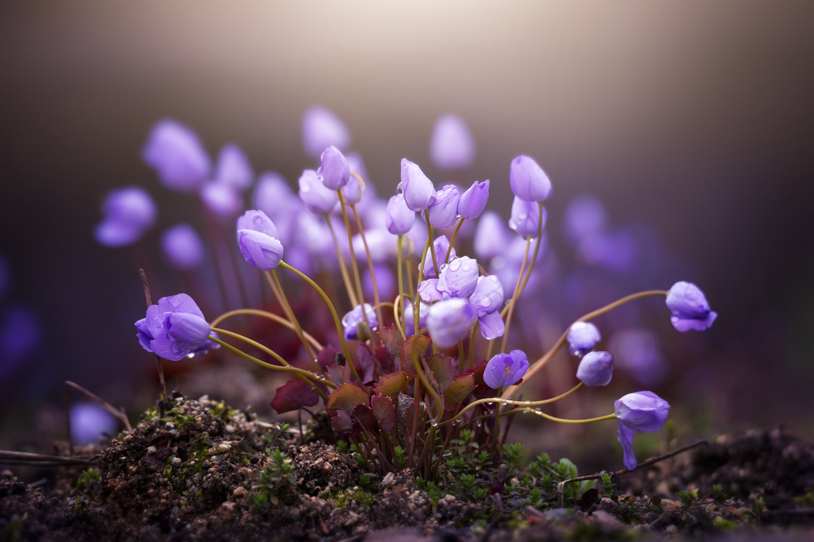 flower purple light blossom rain rainy morning spring , Tiger Seo