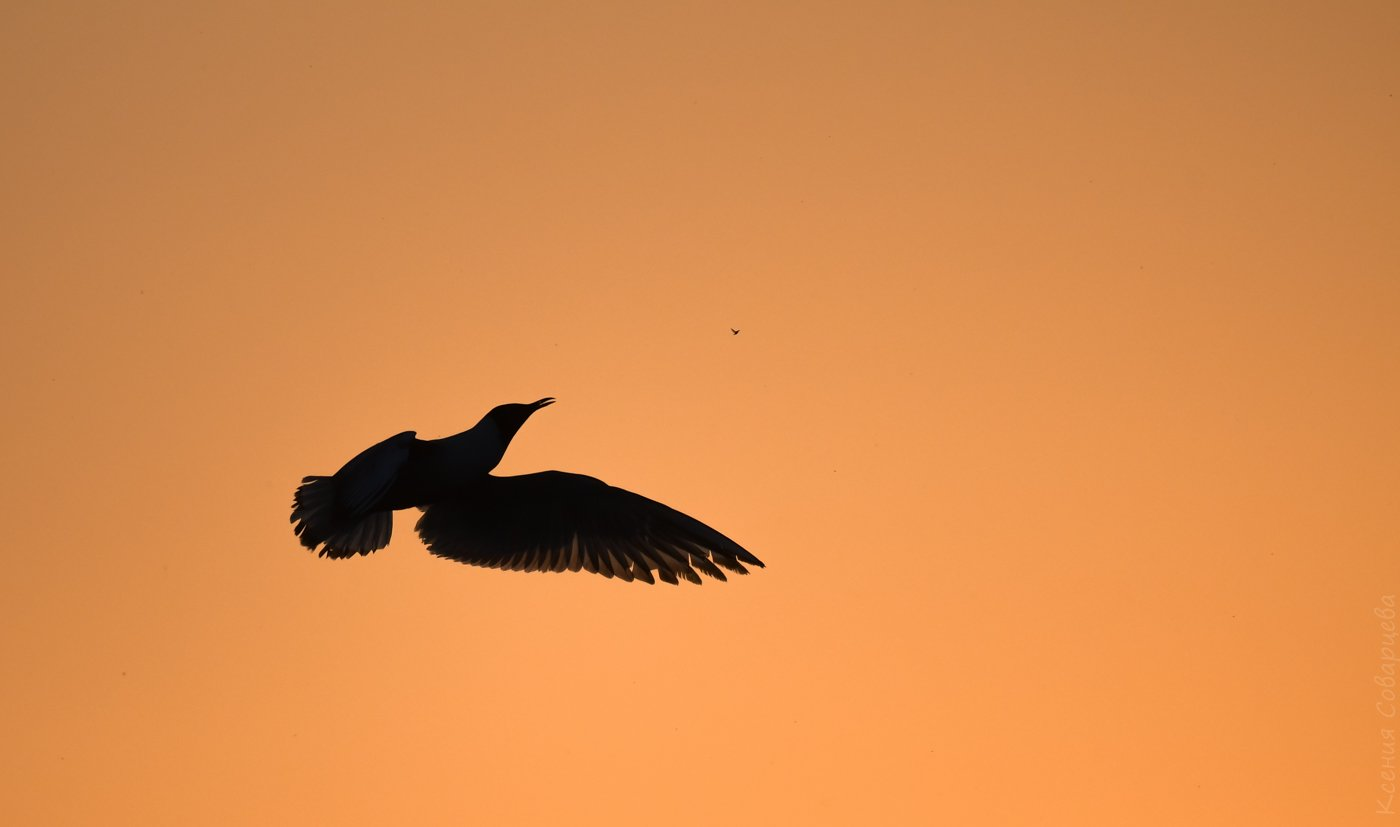 chroicocephalus ridibundus, озёрная чайка, речная чайка, обыкновенная чайка, питание птиц, закат, оранжевый, силуэт, вечер, май, птицы, дикая природа, подмосковье,, Соварцева Ксения