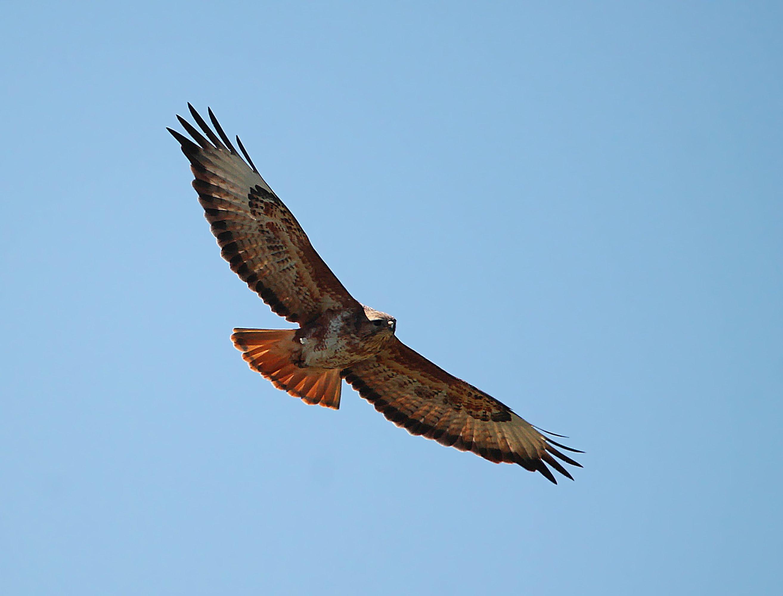птица,хищная птица,орёл., Magov Marat