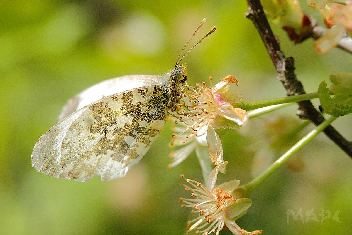 макро весна бабочка цветы, Шангареев Марс