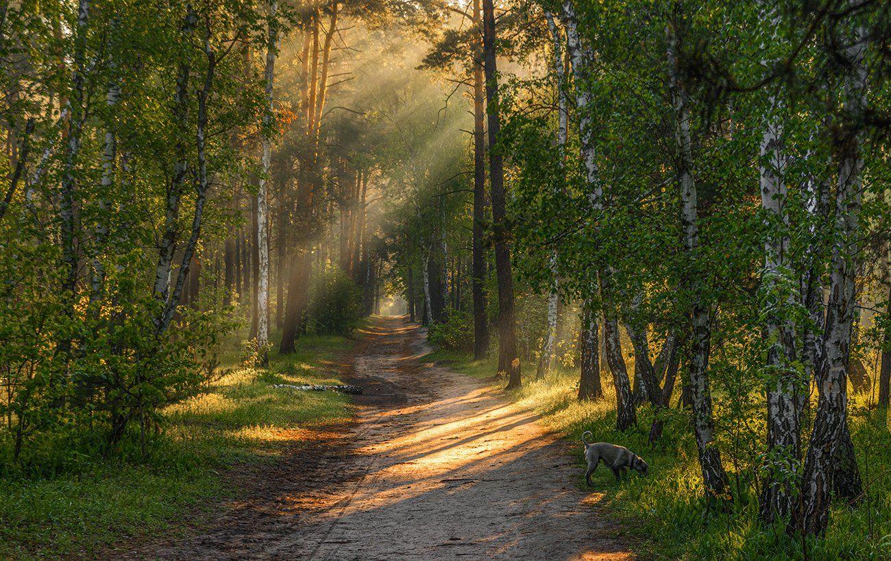 landscape, пейзаж, утро, лес,  деревья, солнечный свет,  солнце, природа, солнечные лучи,  прогулка, собака, Шерман Михаил