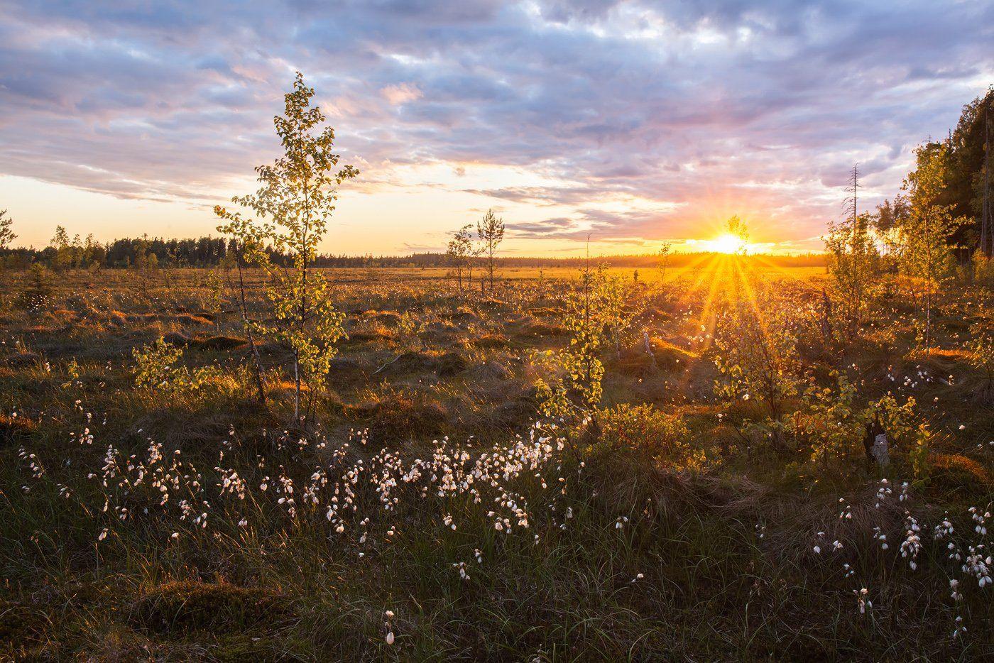 пушица, болота Ленинградской области, пейзажи ленобласти, Арсений Кашкаров