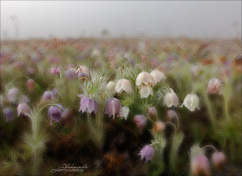 сон-трава, Александр Леснянский