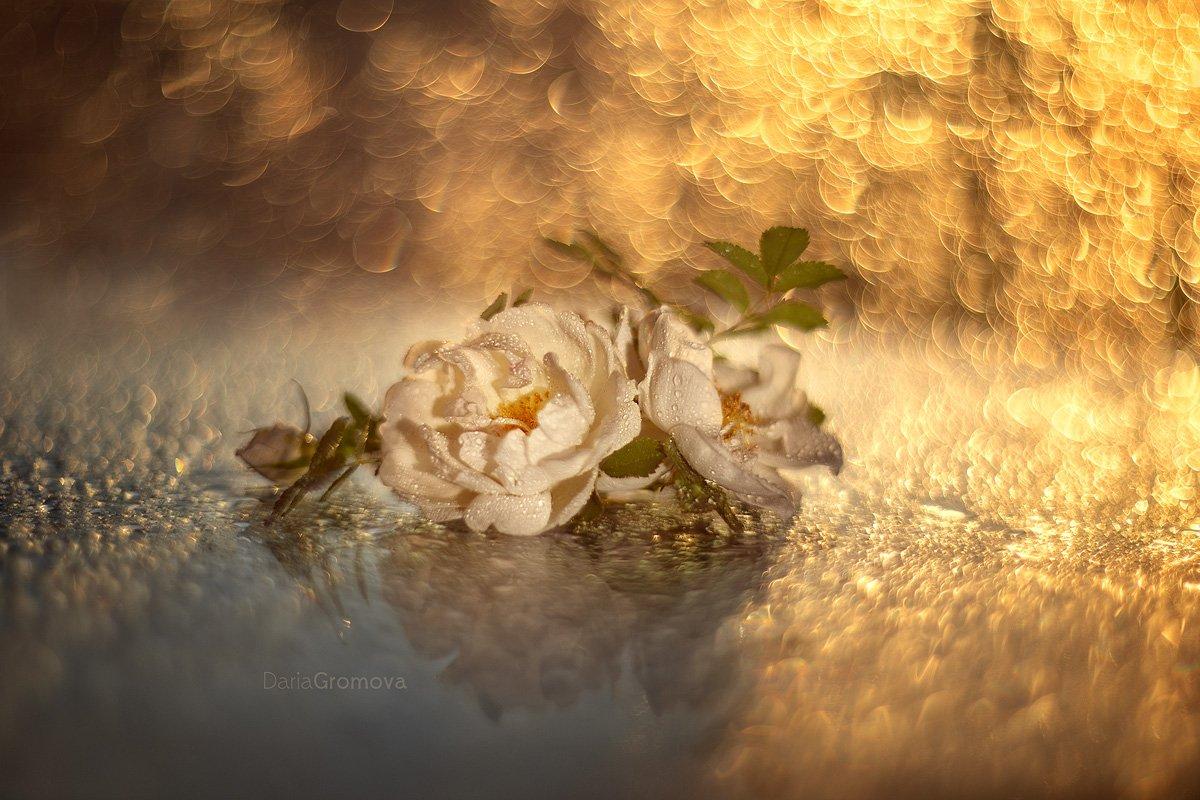 шиповник, боке, натюрморт, дарья громова, фотография, фото, фотоарт, фотограф, цветы, закат, Дарья Громова