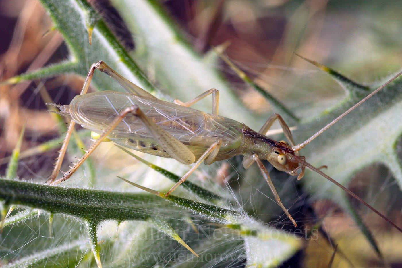 italian tree cricket, oecanthus pellucens, northwestern caucasus, krasnodar territory, summer, imago, adult, tree cricket, Владимир Нейморовец