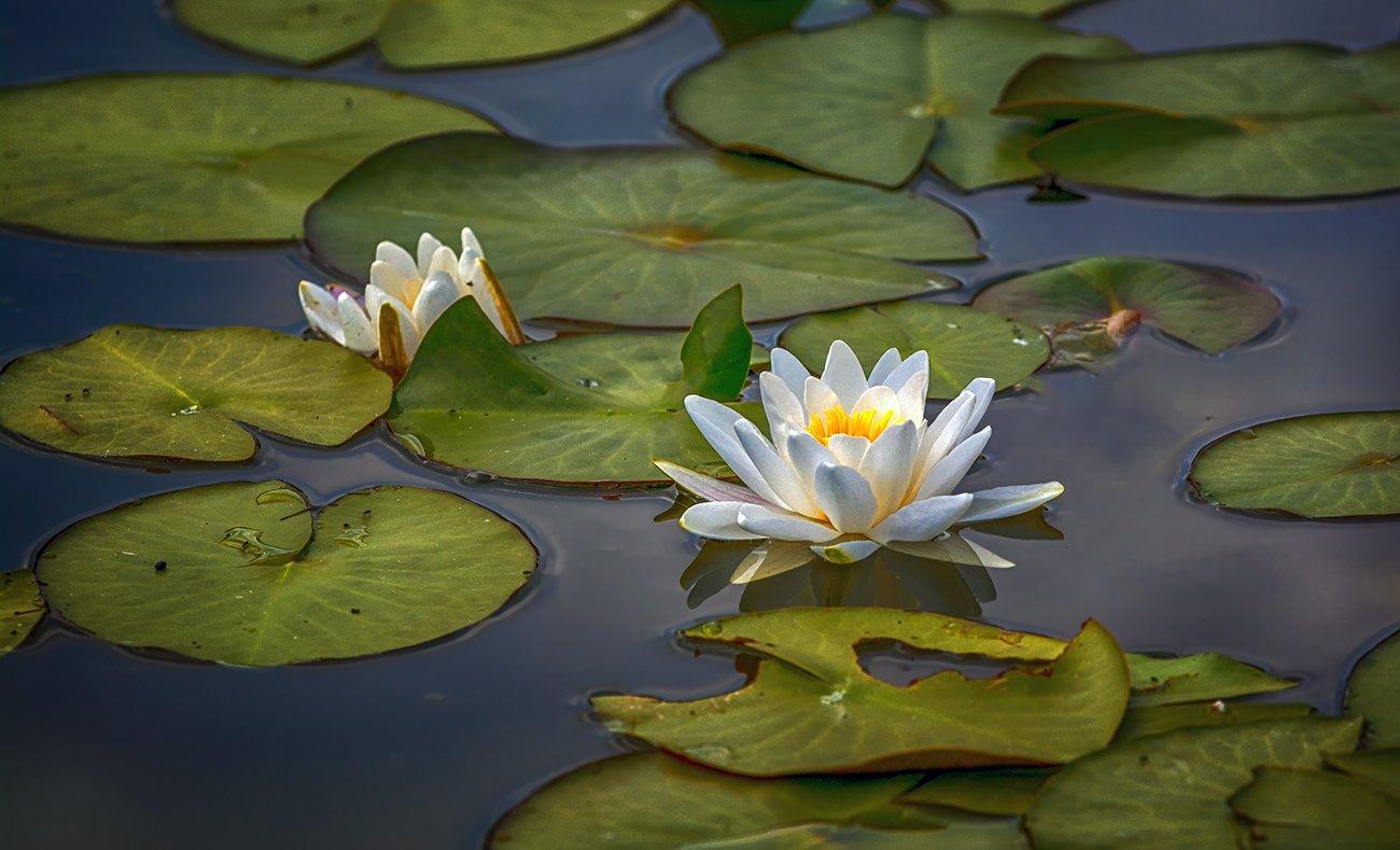 nature, природа, цветы, кувшинка, лист, вода, пруд, озеро, цвести,, Шерман Михаил