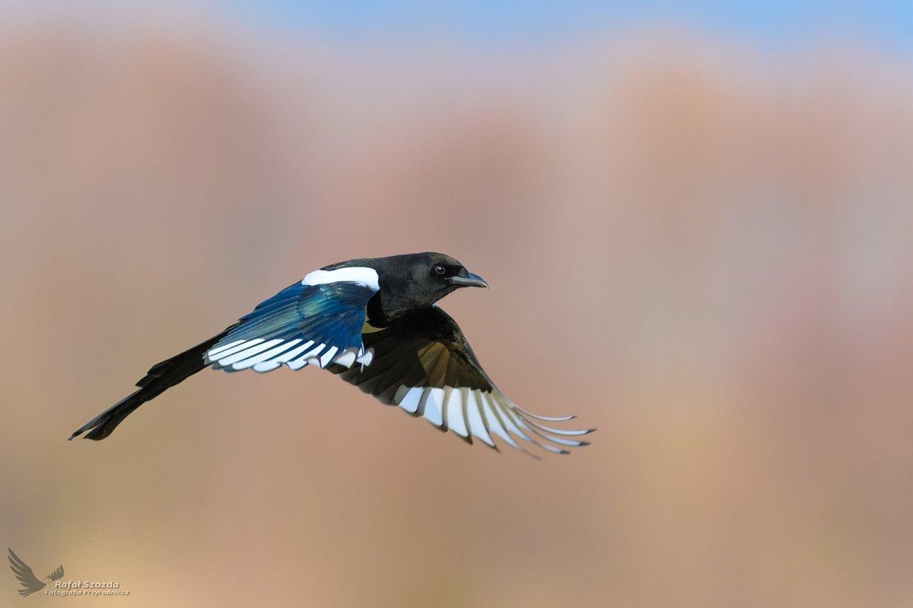 birds, nature, animals, wildlife, colors, meadow, nikon, nikkor, spring, flight, freedom, wings, lubuskie, poland, Szozda Rafal