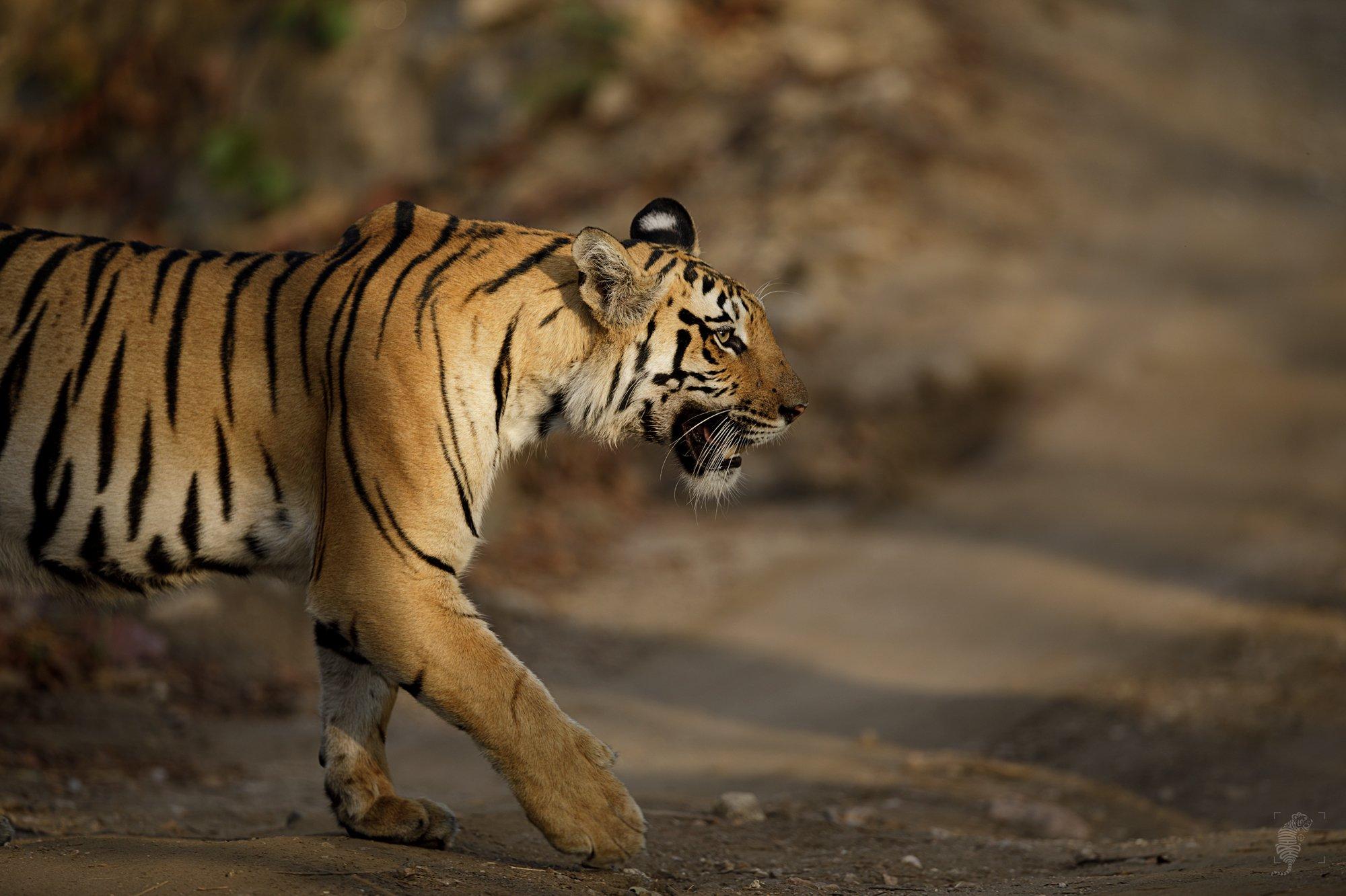 #Wildlife #Canon #India #Tigers #Sunlight #500mm, D Abhijit