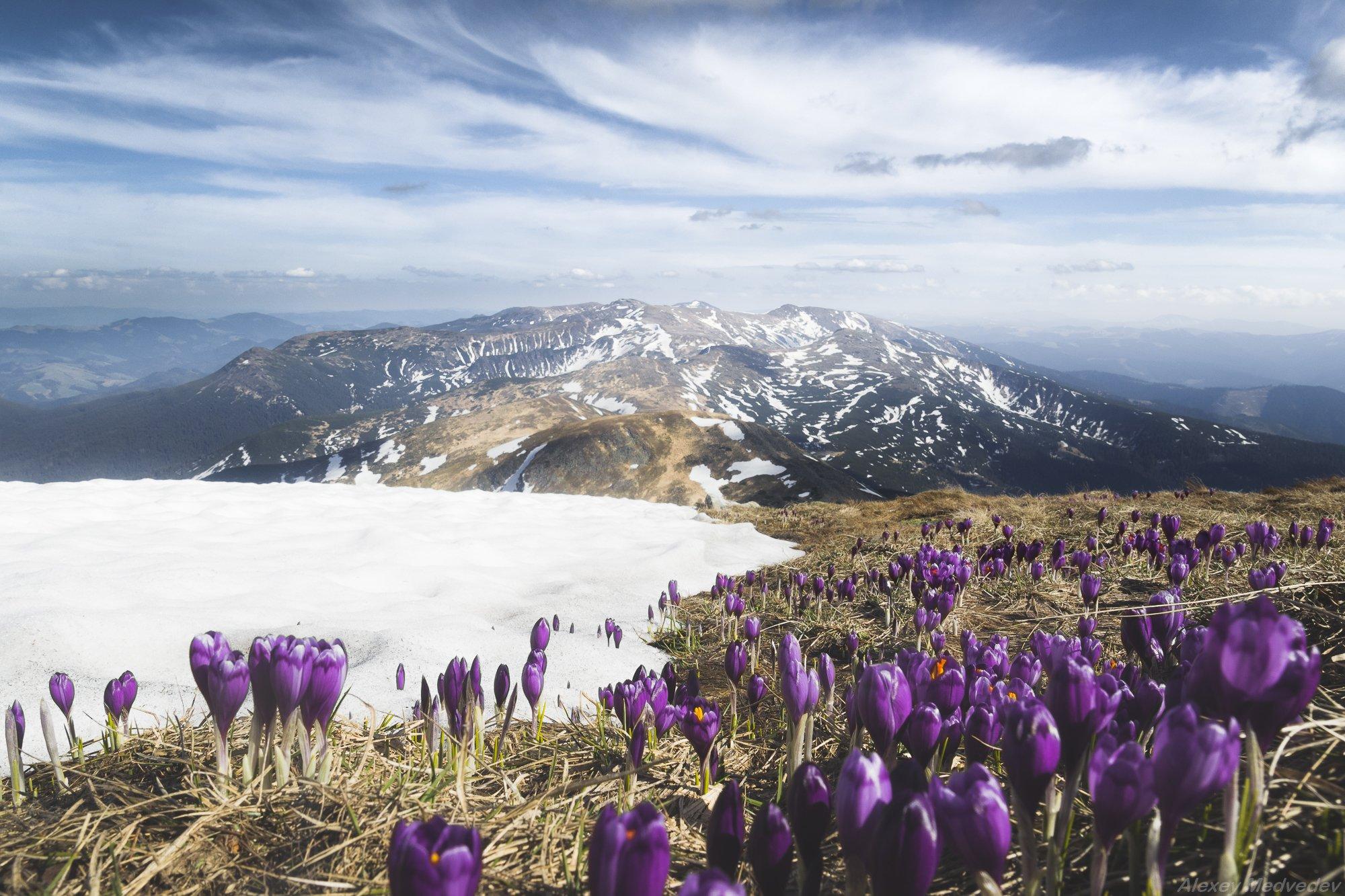 Карпаты, Украина, говерла, крокусы, май, снег, весна, Алексей Медведев