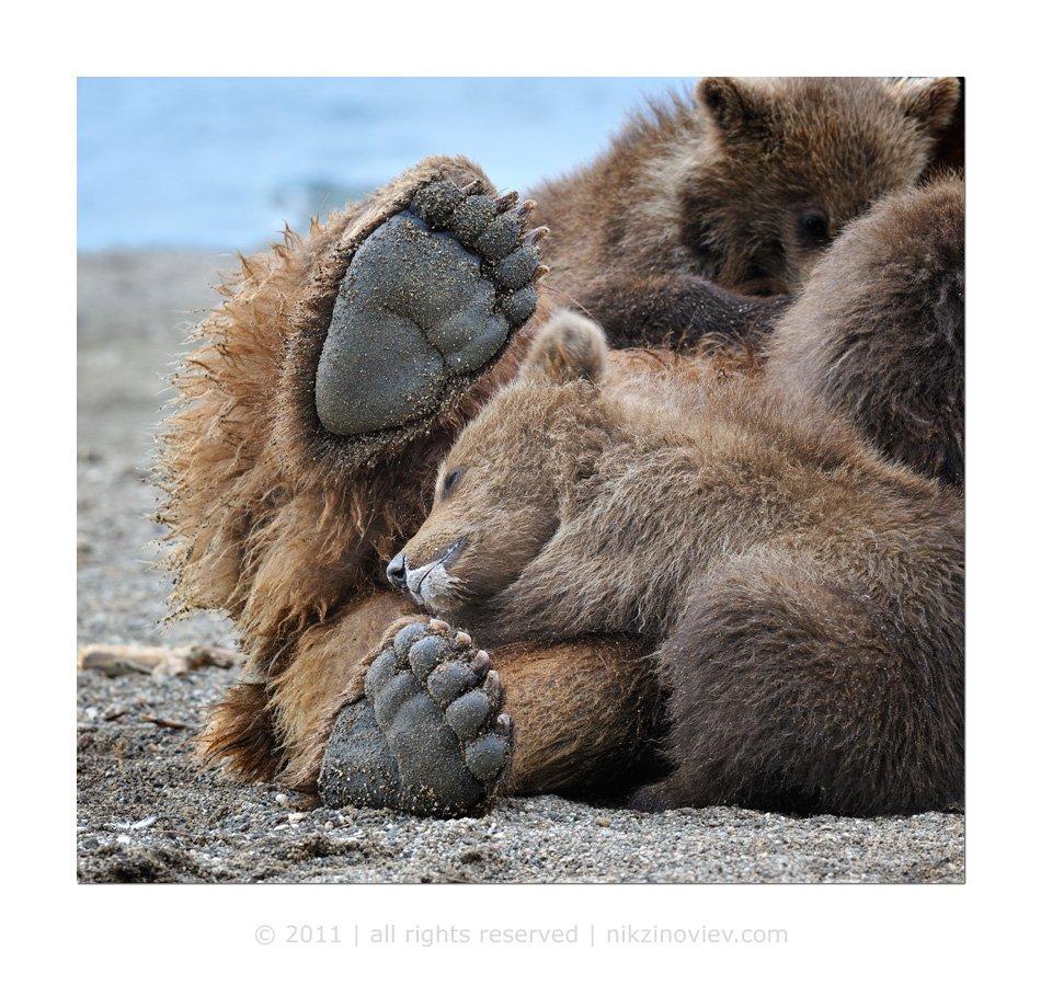 медведи, медведица, медвежата, камчатка, курильское озеро, дикая природа, россия, николай зиновьев, Николай Зиновьев