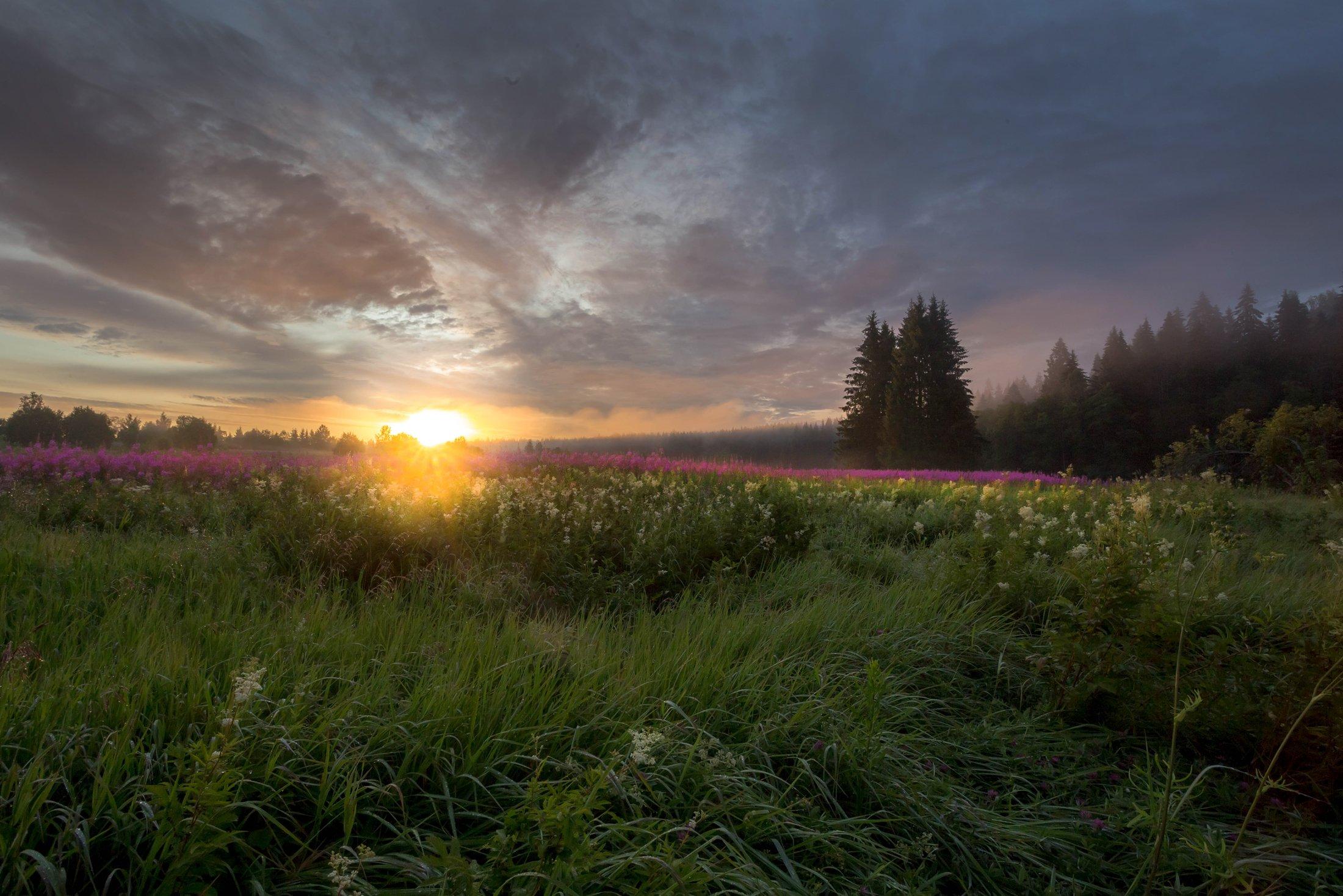 кипрей, лето, туман , поле, луг, рассвет ,карелия, Vaschenkov Pavel