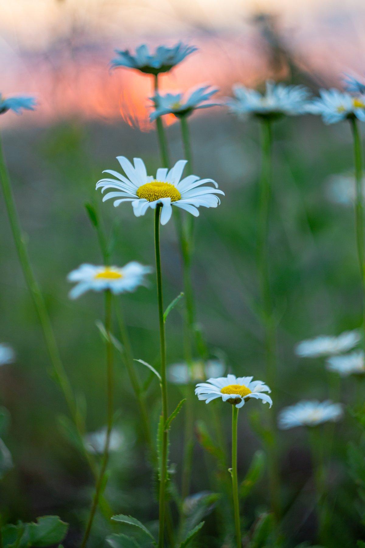 ромашки, лето, закат, цветы, Руслан Востриков