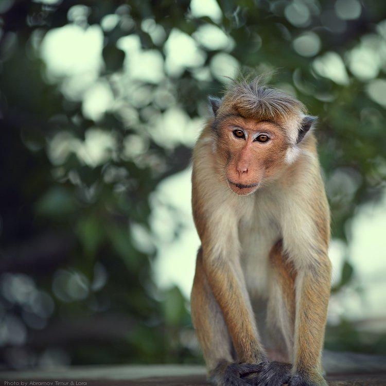 макак, обезьяна, шри-ланка, цейлон, Лора