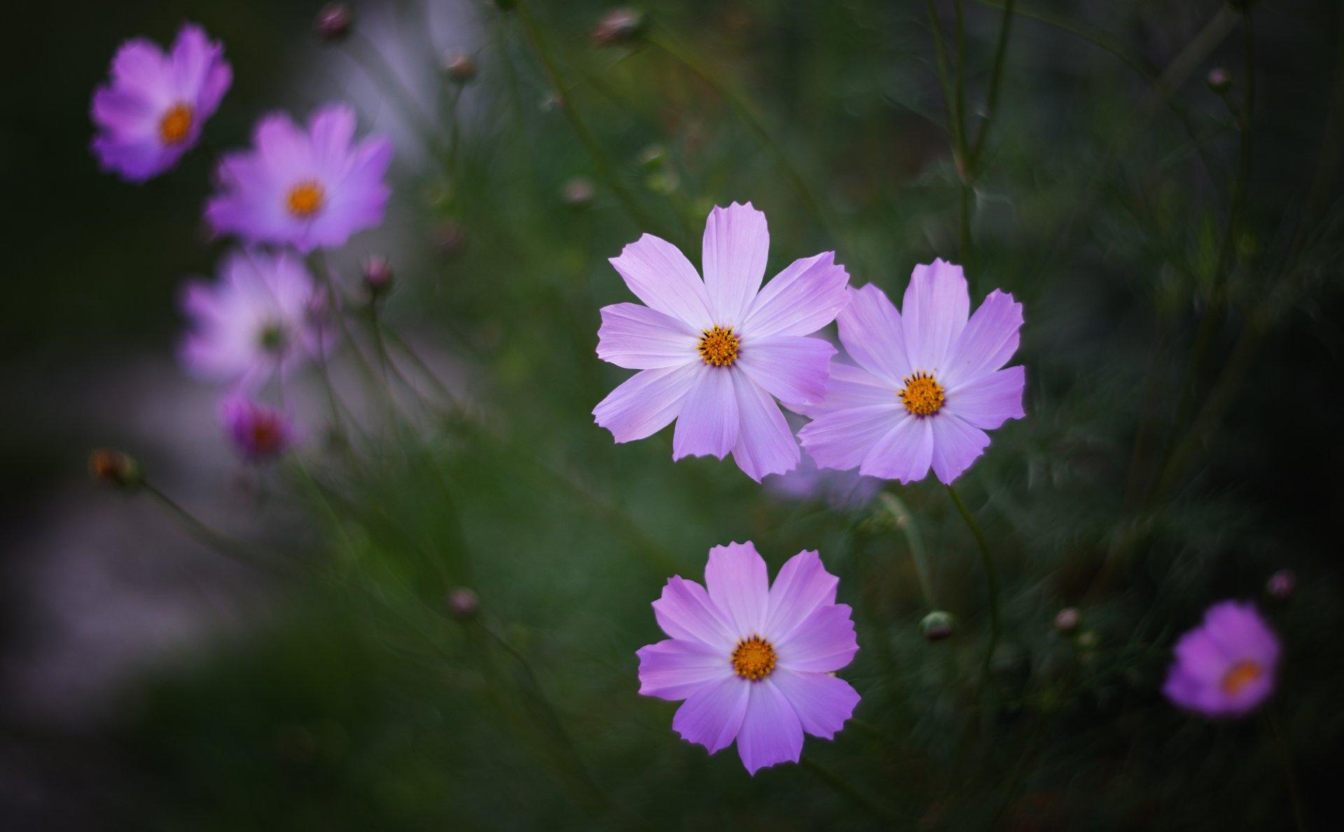 лето,  космея, цветение,  Гобова Наталья